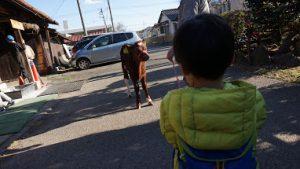 子牛と散歩